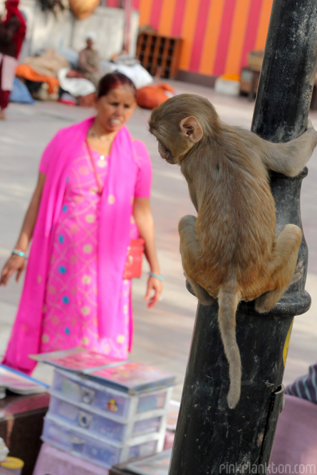 monkey and lady in sari in New Delhi