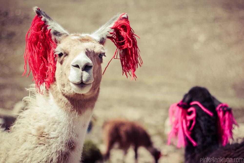 llama's in Peru