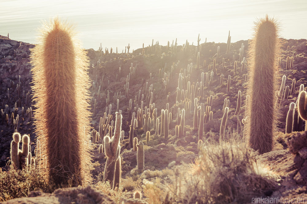 many cactus on Isla Incahuasi on the Salar de Uyuni in Bolivia