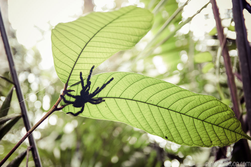 tarantula on leaf in Amazon Rainforest