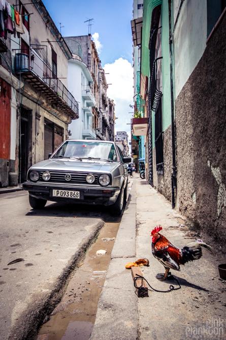 rooster in street Havana Cuba