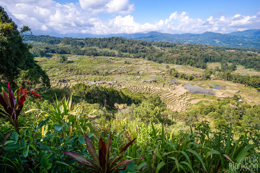 rice terraces of Toraja, Sulawesi