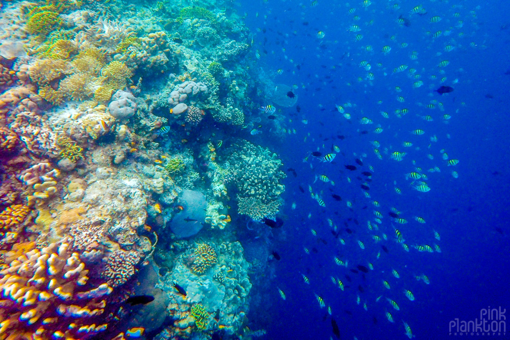 fish and colorful coral reef on Bunaken Island, Sulawesi