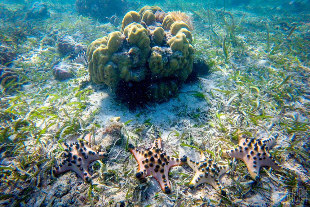 starfish on Bunaken Island, Sulawesi