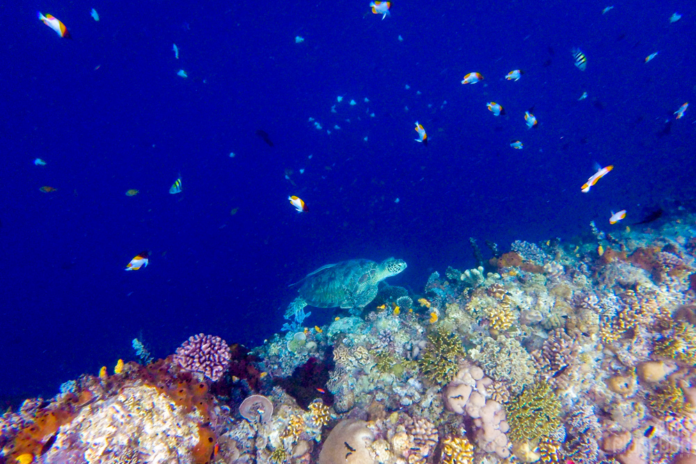 turtle and coral reef on Bunaken Island, Sulawesi