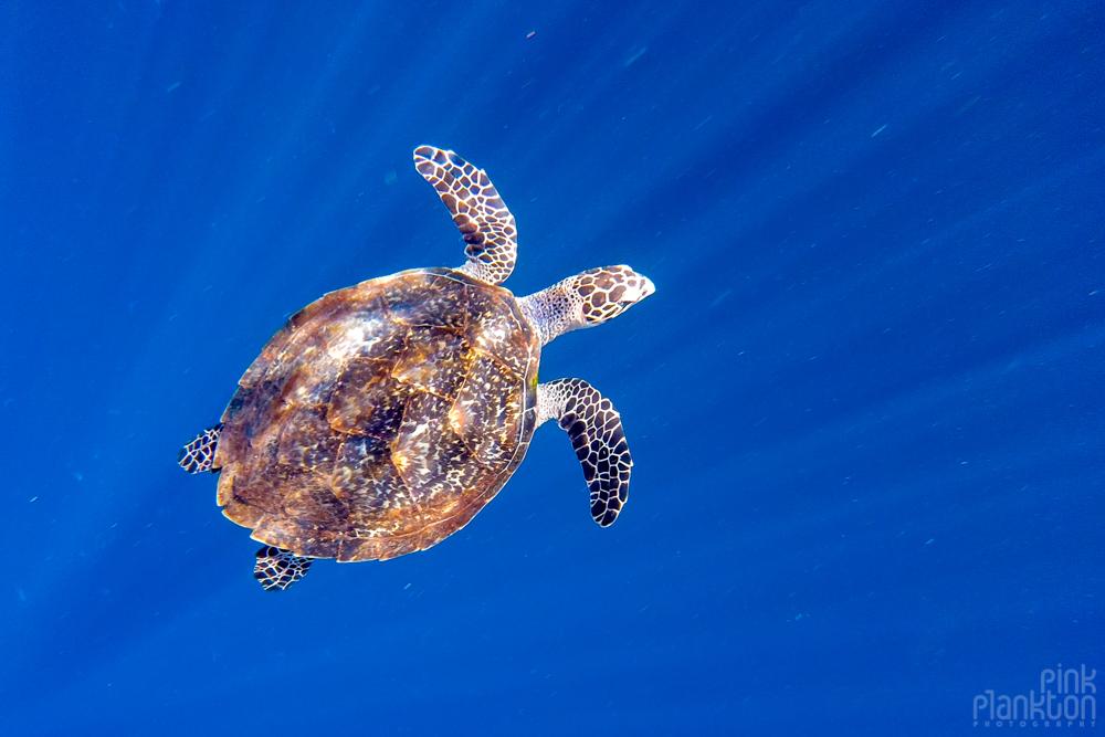 turtle in Bunaken Island, Sulawesi