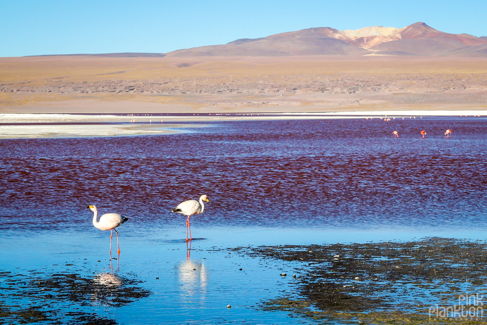 white flamingos in Bolivia's Laguna Colorada red lagoon