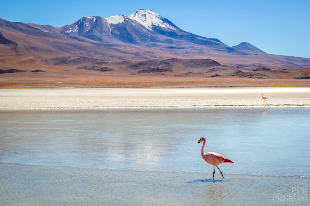 pink flamingo, volcano, and a lagoon in Bolivia's desert