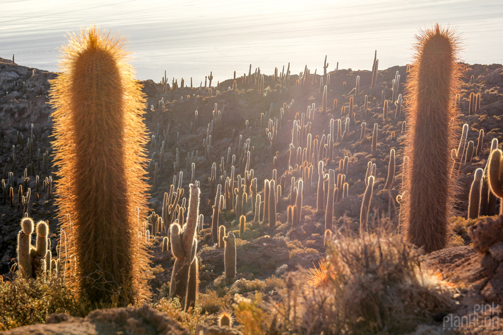 cacti on Isla Incahuasi in Bolivia's Salar de Uyuni