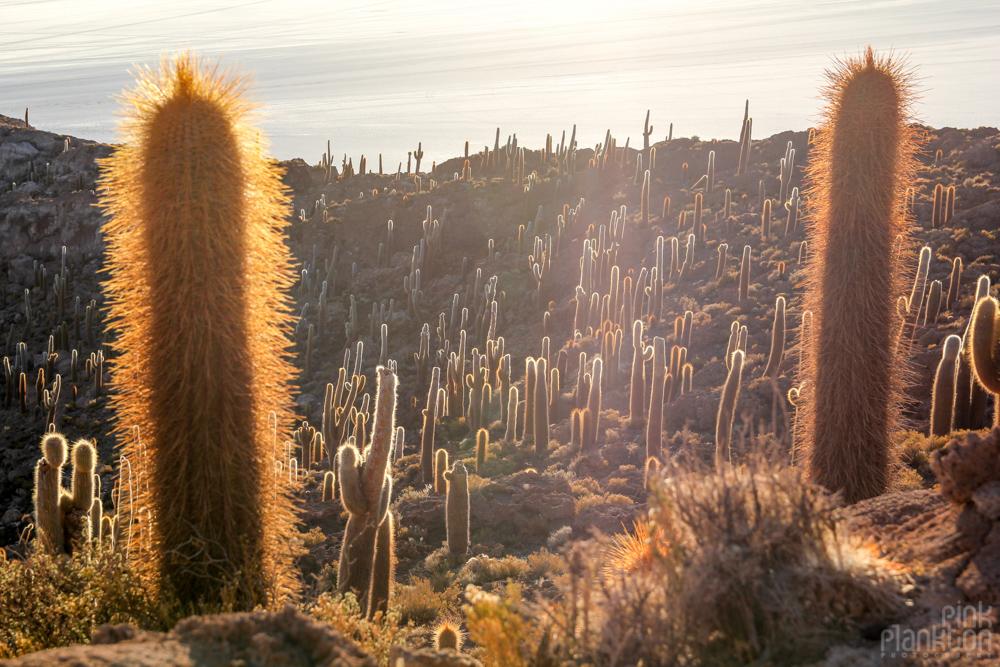 cacti on Isla Incahuasi in Bolivia's Salar de Uyuni