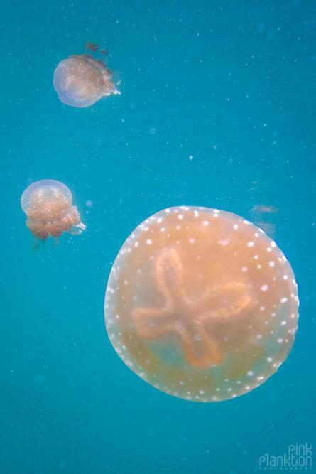 3 jellyfish in jellyfish lake in Togean Islands, Sulawesi, Indonesia