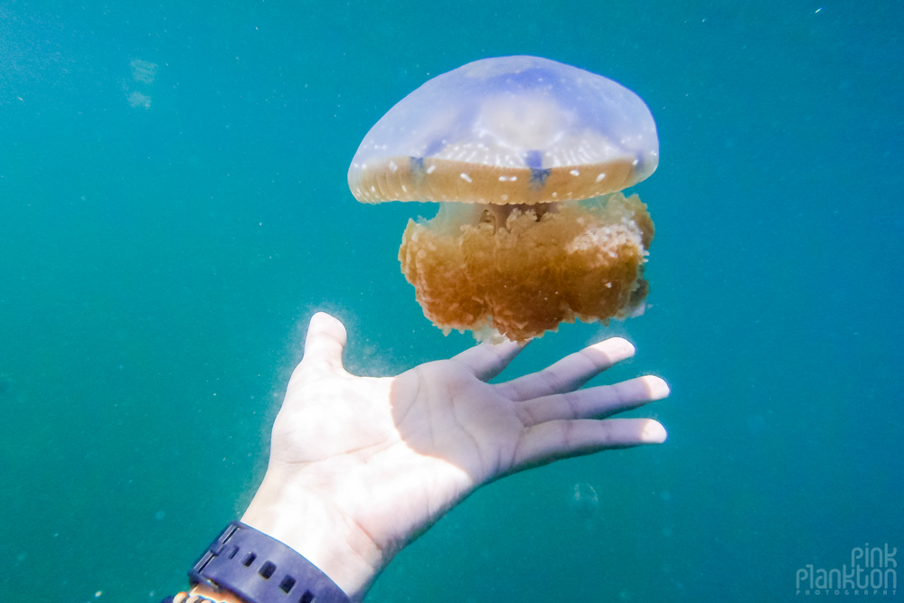 large jellyfish with hand for scale in lake in Togean Islands, Sulawesi, Indonesia