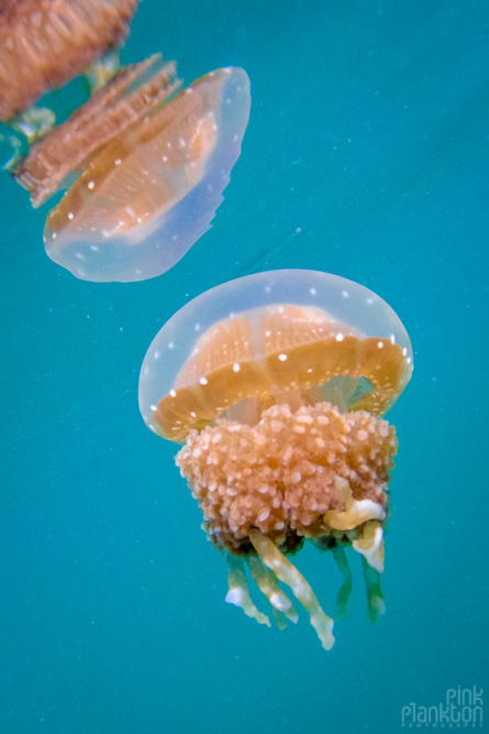 jellyfish with reflection in lake in Togean Islands, Sulawesi, Indonesia